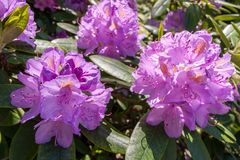 Rhododendrons bloom in Helsinki`s botanical garden. Rhododendrons bloom in June in the Botanical garden of Kaisaniemi University royalty free stock photos