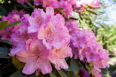 Rhododendrons bloom in Helsinki`s botanical garden. Rhododendrons bloom in June in the Botanical garden of Kaisaniemi University stock photos
