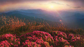 Rhododendrons of Carpathians Royalty Free Stock Photography
