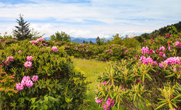 Rhododendrons Blue Ridge Roan Mtn TN. Carvers Gap, a low point in the ridgeline of Roan Mountains, is an access point to stunning scenery on the Appalachian Stock Photography