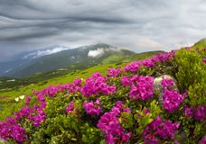 Rhododendrons on Chernogor about Goverly Royalty Free Stock Image