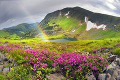 Rhododendrons on Chernogor about Goverly Stock Photo