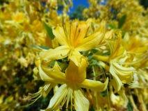 Rhododendrons de floraison en parc finlandais Photographie stock