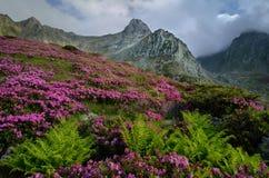 Rhododendrons fleuris haut dans les montagnes Photos stock