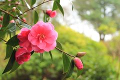 Rhododendrons flowering England Cumbria. royalty free stock photo