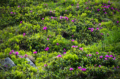 Rhododendrons flowers Royalty Free Stock Photo
