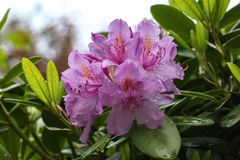 Rhododendrons. / The  are a genus of the family Ericaceae Stock Photography