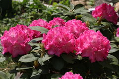 Rhododendrons Royalty Free Stock Image