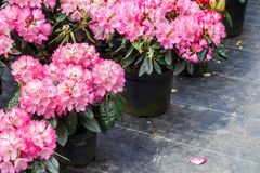 Free Rhododendrons In Plastic Pots On Sale In Plants Nursery At Spring. Royalty Free Stock Image - 144442476