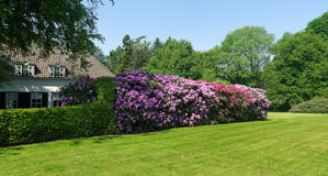 Rhododendrons in a park Stock Photos