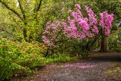 Rhododendrons in Portland`s Crystal Springs Rhododendron Garden Royalty Free Stock Photo