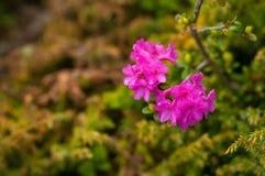 Rhododendrons Rhododendron άνθιση camtschaticum σε μια όμορφη θέση στα βουνά βουνά λουλουδιών στοκ εικόνες