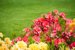 Rhododendrons royalty free stock photo