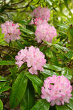 Rhododendrons roses Images stock