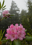 Rhododendrons roses Photographie stock