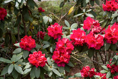 Rhododendrons rouges brillants Photos stock