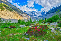 Rhododendrons in the Swiss Alps in the green beneath glaciers Royalty Free Stock Photography