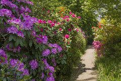 Rhododendrons in various colors Royalty Free Stock Images