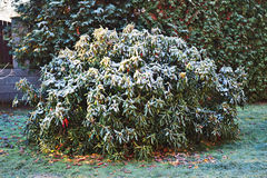 Rhododendrons in winter covered with frost stock images