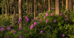 Rhododendrons in woodland, Dorset, UK Stock Photos