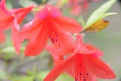 Rhododendronsimsii Planch royaltyfri bild