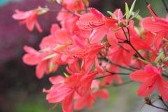 Rhododendronsimsii Planch arkivfoton