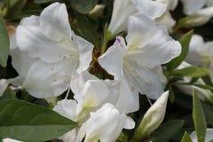 Rhododendronsimsii Planch fotografering för bildbyråer