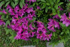 Rhododendronsimsii Planch arkivfoto