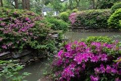 Rhododendronsimsii Planch royaltyfria bilder