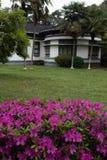 Rhododendronsimsii Planch arkivbilder
