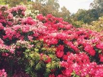 Rhododendronträdgård Royaltyfri Fotografi