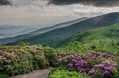 Rhododendronträdgård med dimmiga Roan Mountain Arkivfoton