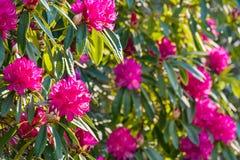 Rhododendrum与桃红色花的grandiflorum灌木在绽放 库存照片