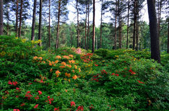 Rhododenrdon and azalea park. Azaleas flowering on rhododendron park at Haaga, Helsinki, Finland. Red, orange and yellow flowers on pine tree forest Stock Photography