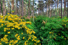 Rhododenrdon and azalea park. Azaleas flowering on rhododendron park at Haaga, Helsinki, Finland. Red, orange and yellow flowers on pine tree forest Stock Photo