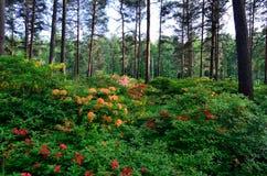 Rhododenrdon och azalean parkerar Arkivbild