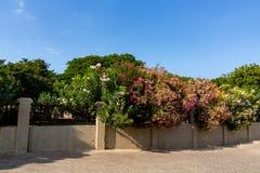 Rhododenron buskar i parkerar bak ett konkret staket royaltyfri bild