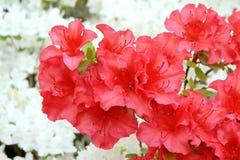 Rhododrendron rouge Photos libres de droits