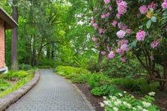 Rhodoendron-Blumen in der Blüte entlang Garten-Weg Stockfotos