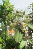 Rhodomyrtus-tomentosa stockfoto