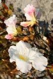 Rhodon branco Fotografia de Stock Royalty Free