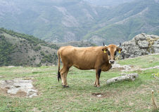 Rhodope Shorthorn cattle on the mountain meadow, Bulgaria Royalty Free Stock Photo