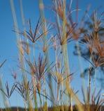 Rhodos-Gras gegen Hintergrund des blauen Himmels Stockfotografie