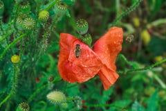 Rhoeas мака, общее, мозоль, Фландрия, красный мак, мозоль подняли, поле маковые семьи мака цветкового растения стоковое фото rf