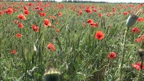 Rhoeas мака, одичалый мак растя на пшеничном поле акции видеоматериалы