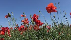 Rhoeas мака, одичалый мак растя на пшеничном поле видеоматериал