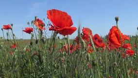 Rhoeas мака, одичалый мак растя на пшеничном поле сток-видео