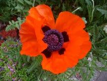 Rhoeas мака цветка мака Стоковые Изображения