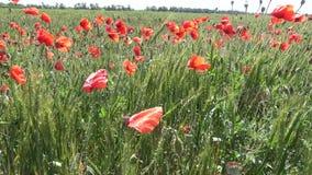 Rhoeas de pavot, pavot sauvage s'élevant sur le champ de blé banque de vidéos
