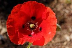 Rhoeas del Papaver de la flor de la amapola fotos de archivo libres de regalías
